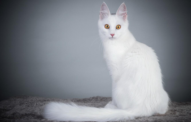 шерсть ангорской кошки